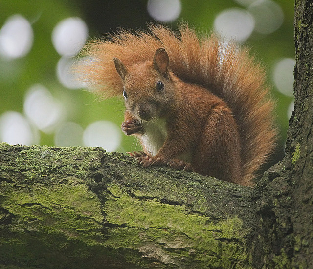 A red squirrel sits on a tree branch, looking somewhat mischievous.